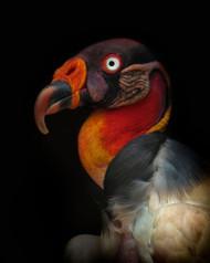 King Vulture Sarcoramphus Papa by Ferdinando Valverde Wildlife Print