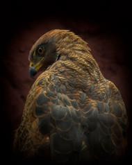 Somebody Watch Me Savanna Hawk by Ferdinando Valverde Wildlife Print