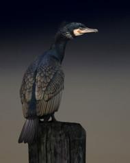 Cormorant Palette by Martin Eilertsen Wildlife Print