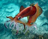 Cuttlefish by Ignacio Palacios Marine Print