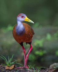 Wood Rail Glimpse by Greg Barsh Wildlife Print