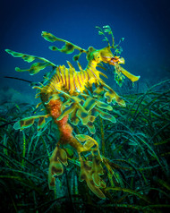 Leafy Sea Dragon Male with Eggs by Jan Abadschieff Marine Print