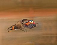 Mandarin Duck by Shlomo Waldmann Wildlife Print