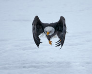 Bald Eagle Take-Off by Shlomo Waldmann Wildlife Print