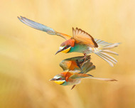 Bee Eaters Couple Flying Together by Shlomo Waldmann Wildlife Print
