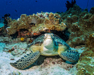 Green Turtle by Roberto Marchegiani Wildlife Print