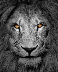 Look Into My Eyes by Richard Knight Wildlife Print
