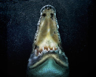 Jaws by Pedro Jarque Wildlife Print