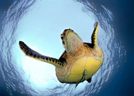 Green Turtle in Snells Window by Henry Jager Wildlife