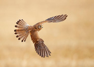 Common Kestrel by Shlomo Waldmann Wildlife Print