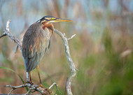 Purple Heron by Milan Zygmunt Wildlife