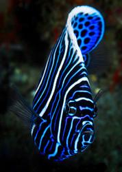 Emperor Angelfish by Baratheui Gabriel Wildlife Print