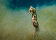 Seahorse in a Sea of Seaweed by Dani Barchana Wildlife