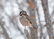 Northern Hawk Owl by Shlomo Waldmann Wildlife