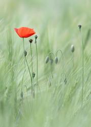 Mohn by Markus Hendel Floral