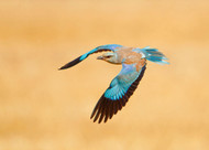 Roller by Shlomo Waldmann Wildlife Print
