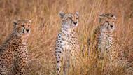 Cheetah Alpine Glow by Jeffrey C Sink Wildlife