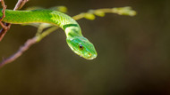 The Green Mamba by Jeffrey C Sink Wildlife