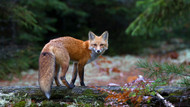 Red Fox in Algonquin Park by Jim Cumming Wildlife