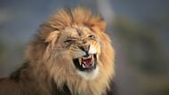 The King is Grumpy by Jeffrey C Sink Wildlife Print