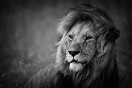 Regal by Mohammed Alnaser Wildlife Print