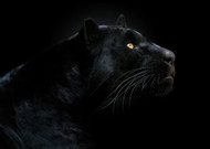 Son of the Night by Pedro Jarque Wildlife Print