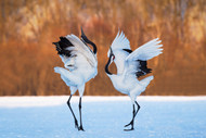The Dance of Love by C Mei Wildlife Print