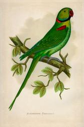 Parrots in Captivity Alexandrine Parrakeet Wildlife Print