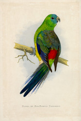 WT Greene Parrots in Captivity Bloodrumped or Redrumped Parrakeet Wildlife Print