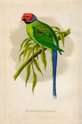WT Greene Parrots in Captivity Blossomheaded Parrakeet Wildlife Print