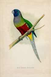 WT Greene Parrots in Captivity Blue Bonnet Parrakeet Wildlife Print