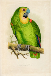 WT Greene Parrots in Captivity Bluefronted Amazon Wildlife Print