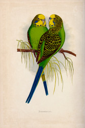 WT Greene Parrots in Captivity Budgerigar Wildlife Print