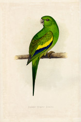 WT Greene Parrots in Captivity Canarywinged Conure Wildlife Print