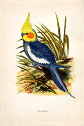 WT Greene Parrots in Captivity Cockatiel Wildlife Print
