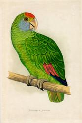 WT Greene Parrots in Captivity Dufresnes Amazon Wildlife Print