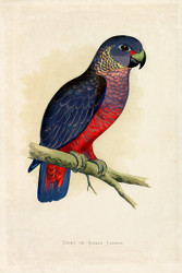WT Greene Parrots in Captivity Dusky or Violet Parrot Wildlife Print