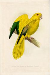 WT Greene Parrots in Captivity Golden or Queen of Bavarias Parrot Wildlife Print