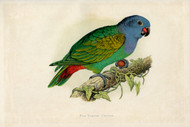 WT Greene Parrots in Captivity Redvented Parrot Wildlife Print