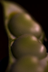 Broad Bean by Andrew Wilson Food and Beverage Print