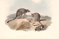 Bettongia Cuniculus By John Gould Wildlife Print