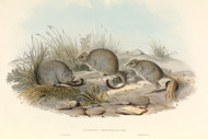 Bettongia Penicillata By John Gould Wildlife Print
