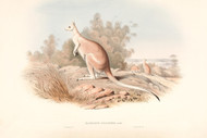 Macropus Unguifer By John Gould Wildlife Print