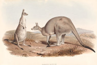 Macropus Major Shaw By John Gould Wildlife Print