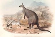 Petrogale Robustus By John Gould Wildlife Print