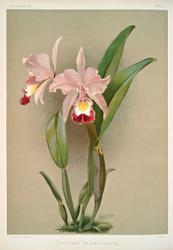 Cattleya Ballantiniana by Joseph Sander Floral Print