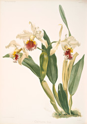 Cattleya Rex By Joseph Sander Floral Print