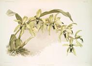 Coelogyne Pandurata By Joseph Sander Floral Print