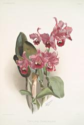 Cattleya Bowringiana by Joseph Sander Floral Print