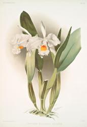 Cattleya Eldorado Crocata by Joseph Sander Floral Print